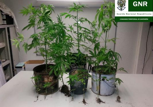 Plantas de cannabis no interior de resid ncia for Plantas marihuana interior